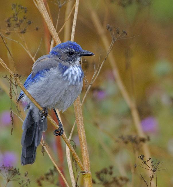 Синяя птичка